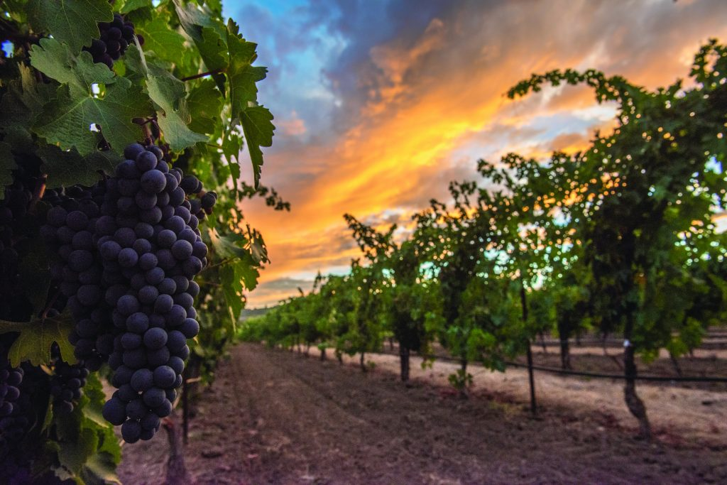 sunset blazes over vineyard with red, ripe grapes