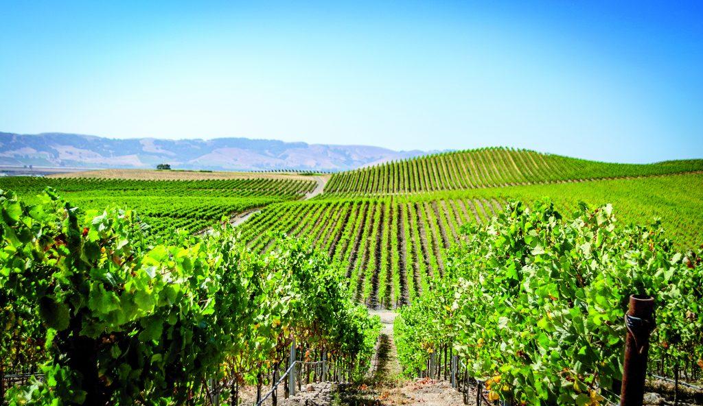 green vineyards under a blue sky