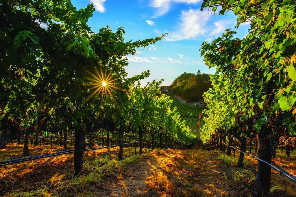 sunlight streaming through grape vineyards