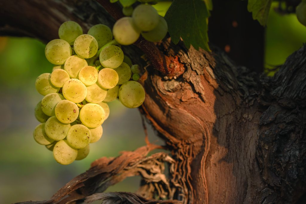 close up of white grapes on the vine in sunlight